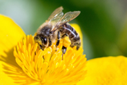 photo bee in flower